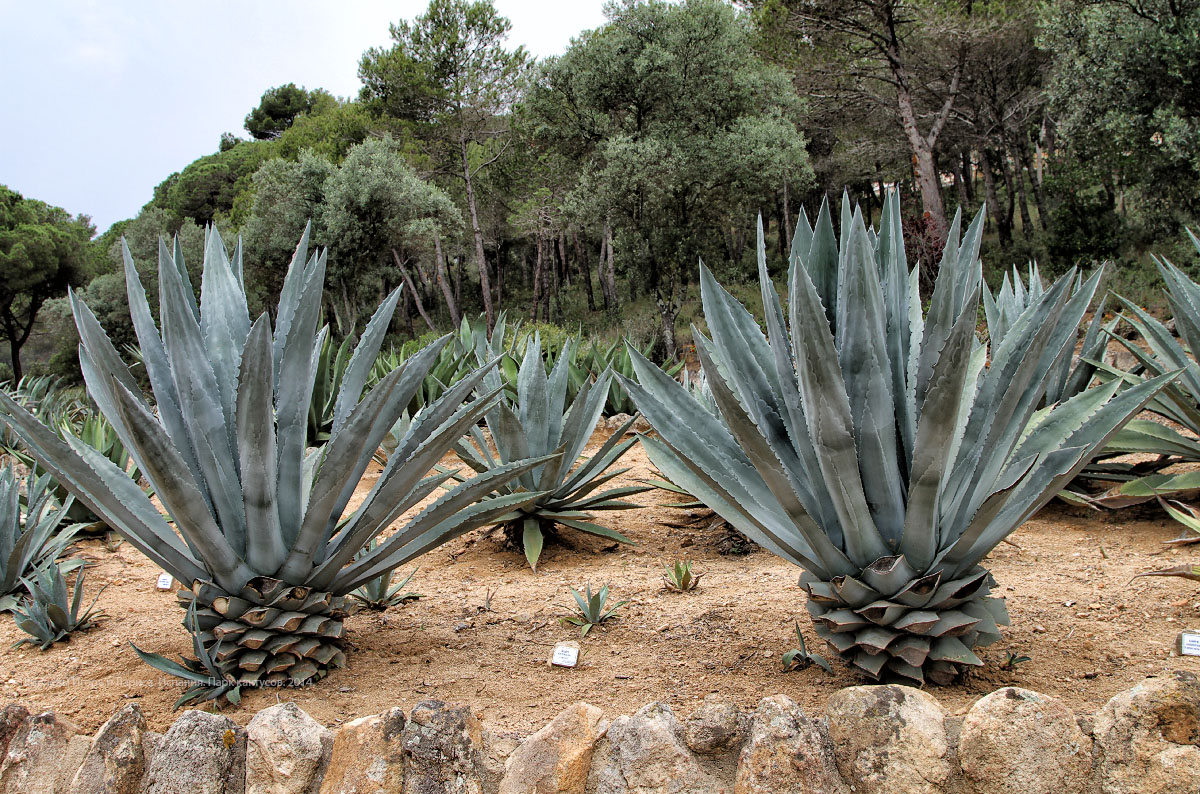 Испания, Каталония, Blanes, сад, кактусы, Pinya de Rosa
