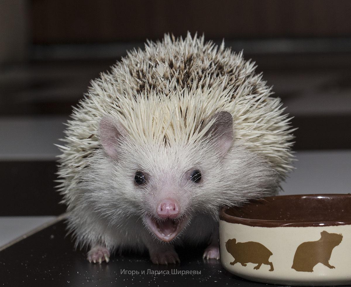 African pygmy hedgehogs